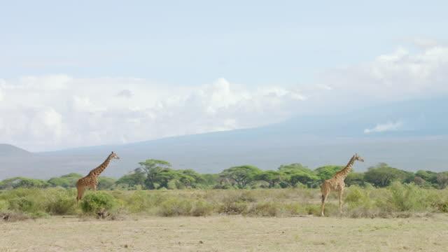 ws kenyan giraffes with mount kilimanjaro in background / kenya - キリマンジャロ山点の映像素材/bロール