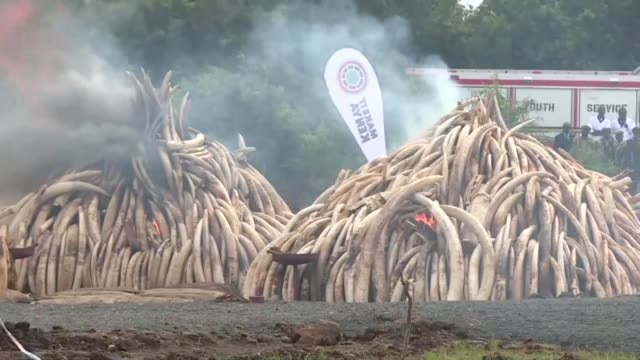 kenyan president uhuru kenyatta set fire saturday to the worlds biggest ivory bonfire after demanding a total ban on trade in tusks and horns to end... - trafficking stock videos and b-roll footage