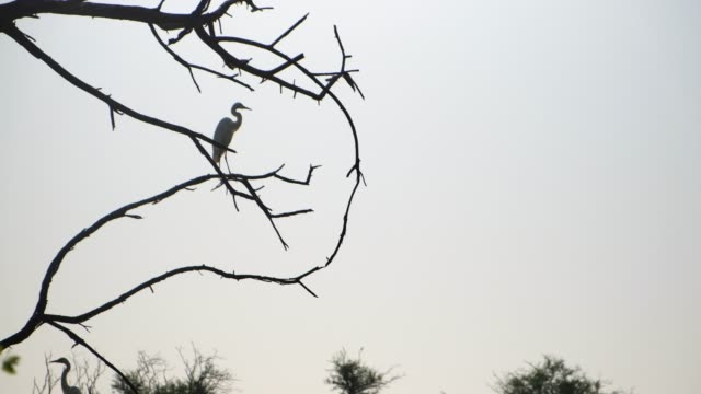 keoladeo ghana national park formerly known as the bharatpur bird sanctuary in bharatpur, rajasthan, india is a famous avifauna sanctuary that hosts... - egret stock videos & royalty-free footage