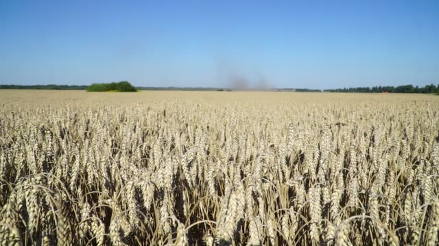 Kernels of wheat are seen in a field ahead of a harvest by Agrotrade in Chernihiv on August 11 in Chernihiv Ukraine on Thursday Aug 10 2017