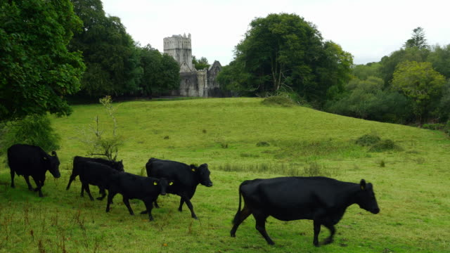 kerry cattles walking in front of muckross abbey - ireland stock videos & royalty-free footage