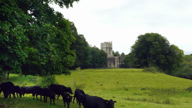Kerry Cattles Walking In Front Of Muckross Abbey