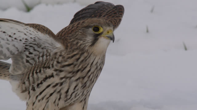 kestrel (falco tinnunculus) attempts to catch prey under snow, essex, england - bbc stock videos & royalty-free footage