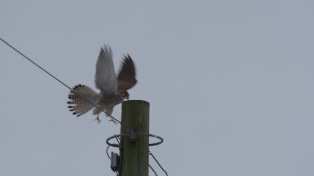 vídeos de stock, filmes e b-roll de kestrel (falco tinnunculus) attempts to land on telegraph pole in wind, essex, england - telegraph pole