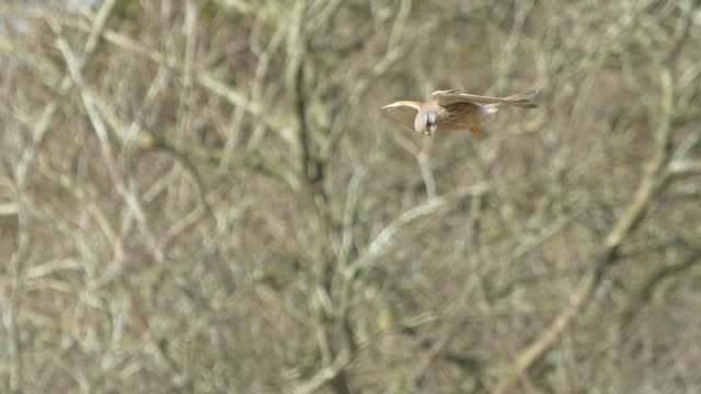 kestrel bird (falco tinnunculus) hovering over woodland in south downs, sussex - animal mouth stock videos & royalty-free footage