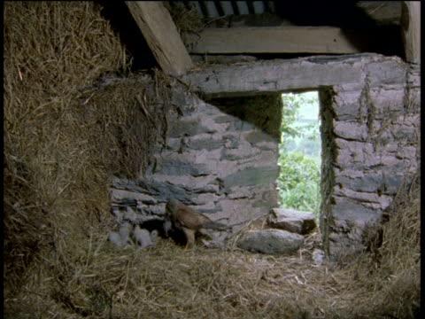 kestrel brings food for chicks amongst hay in barn, devon - receipt stock videos & royalty-free footage