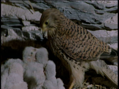 kestrel chick pecks at face of female kestrel to beg food, second chick swallows hay in background, devon - hay texture stock videos & royalty-free footage
