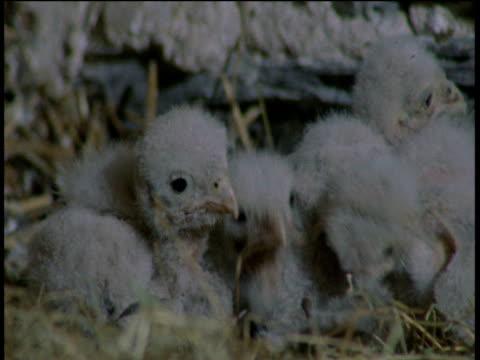 kestrel chicks peck at dead vole, devon - babyhood stock videos & royalty-free footage