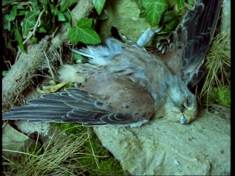 T/L - Kestrel decomposing