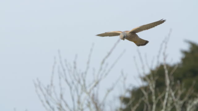 kestrel (falco tinnunculus) hovering, looking for prey, south downs - hovering stock videos & royalty-free footage