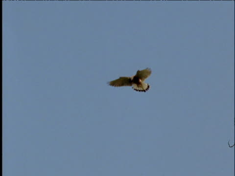 Kestrel hovers in blue sky