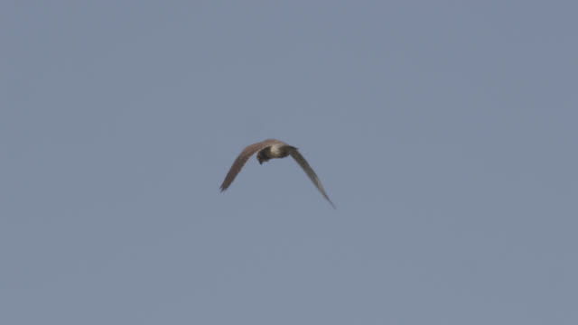 kestrel (falco tinnunculus) hunts over airfield, essex, england - bbc stock videos & royalty-free footage