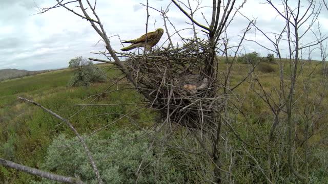 チョウゲンボウの巣 - 雛鳥点の映像素材/bロール