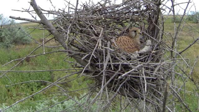 kestrel on the nest - hawk bird stock videos & royalty-free footage