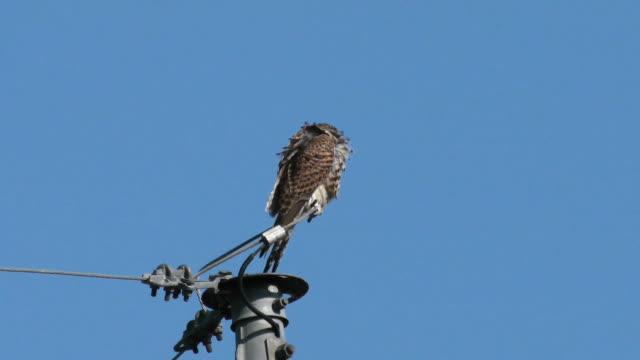 A Kestrel sitting on the telephone pole