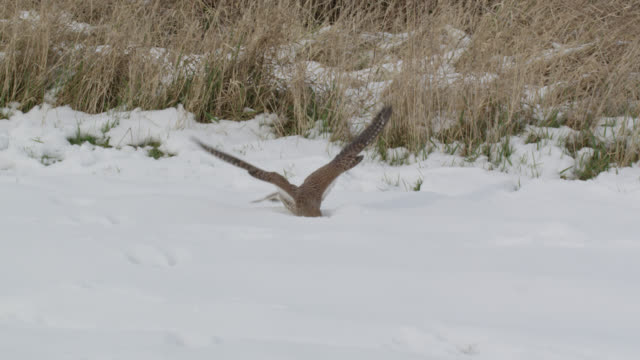 kestrel (falco tinnunculus) swoops onto prey under snow, essex, england - bbc stock videos & royalty-free footage