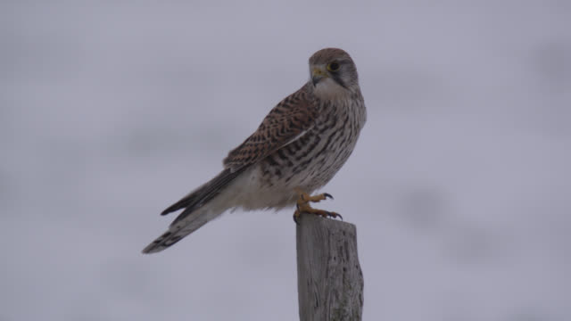 kestrel (falco tinnunculus) takes off from fence post, essex, england - bbc stock videos & royalty-free footage