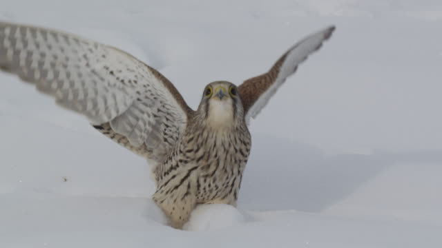 kestrel (falco tinnunculus) takes off from snow, essex, england - bbc stock videos & royalty-free footage