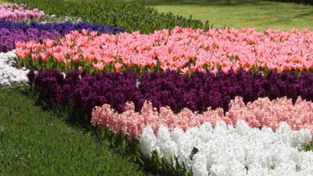 keukenhof gardens, the most famous spring garden in the world, lisse, netherlands. - hyacinth stock videos & royalty-free footage