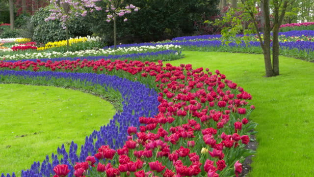 keukenhof gardens. tulips and grape hyacinths in formal garden. lisse, south holland, netherlands. - hyacinth stock videos & royalty-free footage