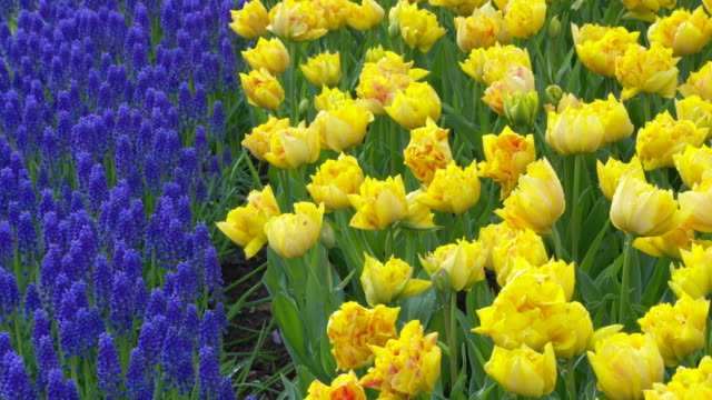 keukenhof gardens. tulips and grape hyacinths in formal garden. lisse, south holland, netherlands. - south holland stock videos and b-roll footage