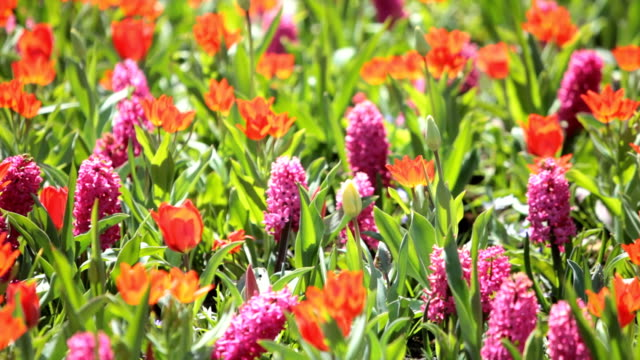 keukenhof gardens - hyacinth stock videos & royalty-free footage