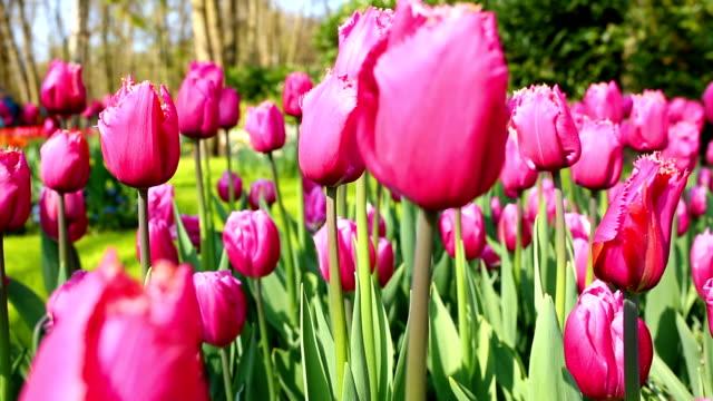 Keukenhof tulips farm season in Netherland