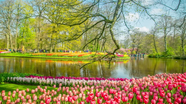 keukenhof tulips farm season in netherland - netherlands stock videos & royalty-free footage