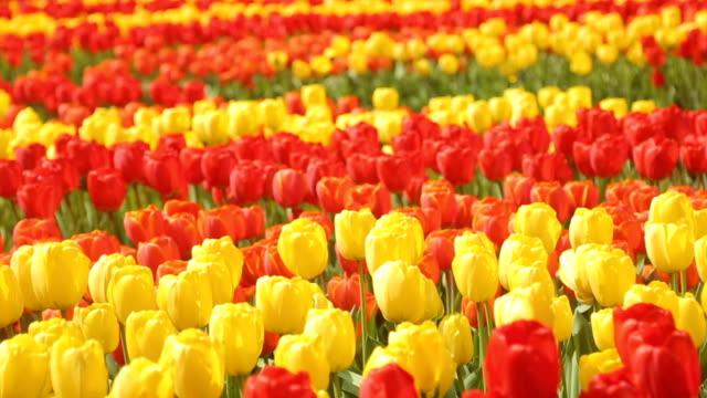 keukenhof tulips farm season in netherland - tulip stock videos and b-roll footage