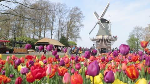 keukenhof tulips farm season - michigan stock videos & royalty-free footage