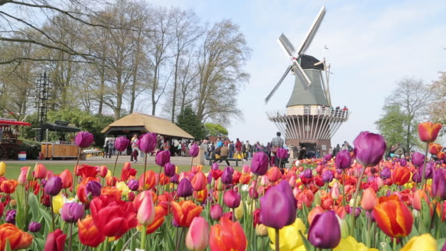 keukenhof tulips farm season - netherlands stock videos & royalty-free footage