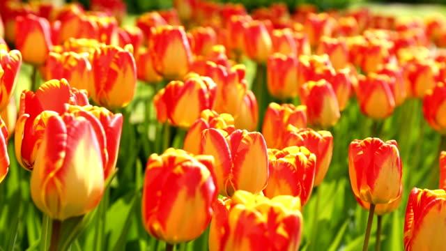 keukenhof tulips farm season - tulip stock videos and b-roll footage