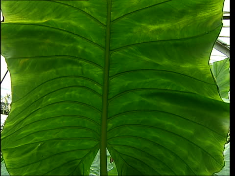 Tropical plants on display at exhibition More of exhibition including yellow orchid pathway through foliage TRACK closeups of giant green leaves and...
