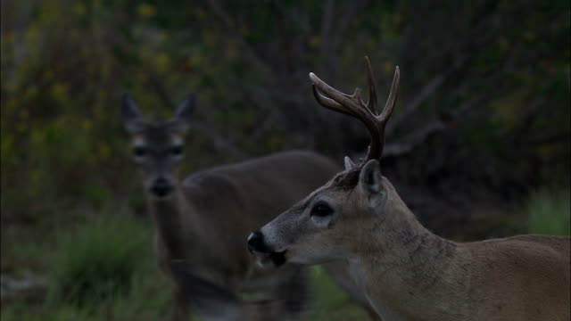 a key deer buck chews its food near two does in a grassy field. - white tailed deer stock videos & royalty-free footage
