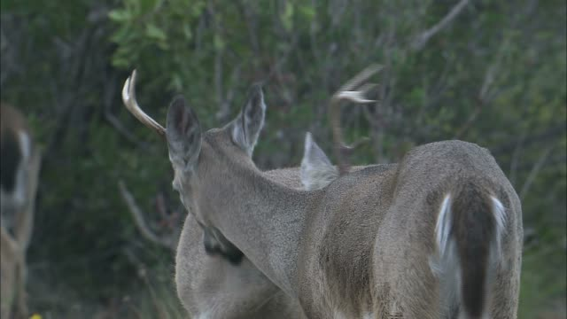 key deer groom each other. - white tailed deer stock videos & royalty-free footage