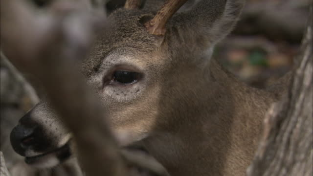 a key deer munches as it stands in a forest. - white tailed deer stock videos & royalty-free footage
