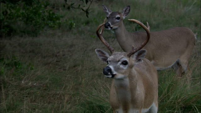 key deer stand in a thicket. - white tailed deer stock videos & royalty-free footage