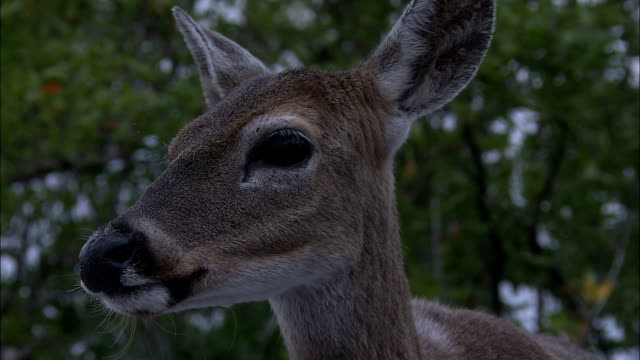 a key deer turns its head and looks around. - white tailed deer stock videos & royalty-free footage