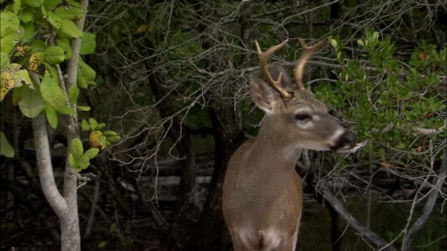 a key deer wanders through mangroves. - white tailed deer stock videos & royalty-free footage