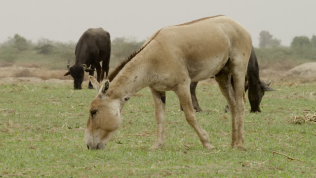 khur grazes near mehsana buffalo, india. - grazing stock videos & royalty-free footage