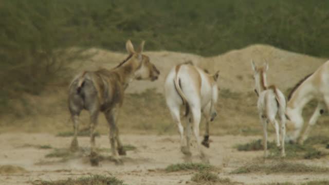 khur stallion chases female, india. - stallion stock videos & royalty-free footage