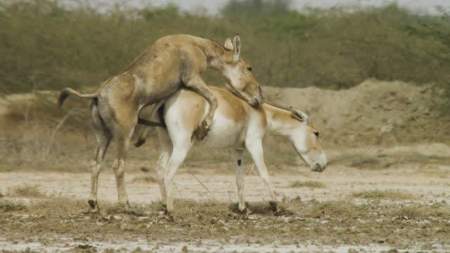 khur stallion mates with female, india. - stallion stock videos & royalty-free footage