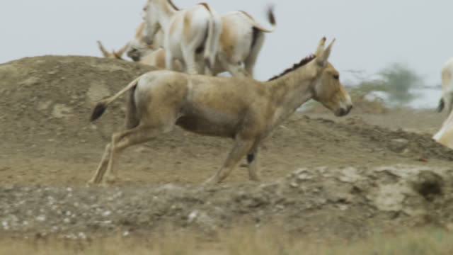 khur stallion runs over dry earth, india. - stallion stock videos & royalty-free footage