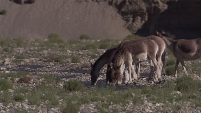 kiang herd drinks from stream, ladakh, india - medium group of animals stock videos & royalty-free footage