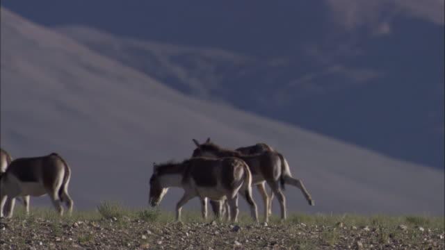 vídeos y material grabado en eventos de stock de kiang herd on plateau, ladakh, india - grupo mediano de animales