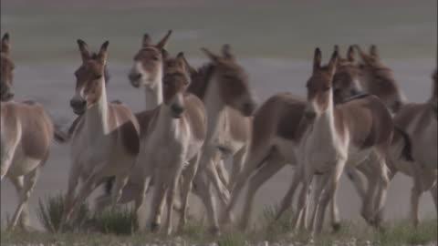 vídeos y material grabado en eventos de stock de kiang stallion corrals females on plateau, ladakh, india - grupo mediano de animales