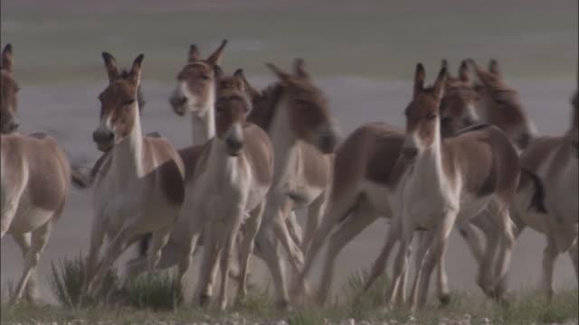 kiang stallion corrals females on plateau, ladakh, india - medium group of animals stock videos & royalty-free footage