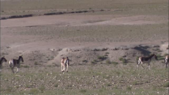 kiang stallion corrals females on plateau, ladakh, india - stallion stock videos & royalty-free footage