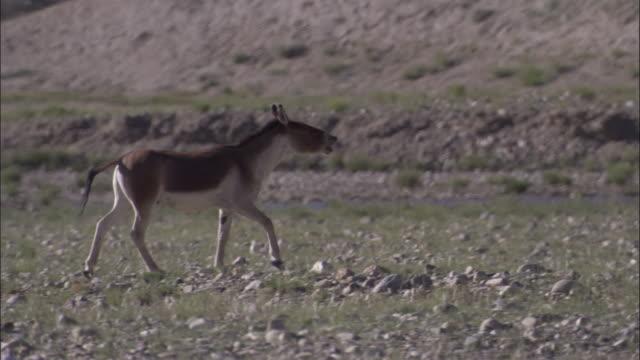 kiang stallion flehmens on plateau, ladakh, india - stallion stock videos & royalty-free footage