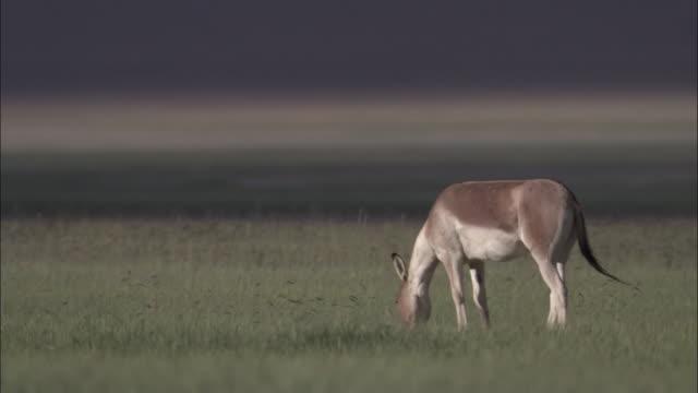 kiang stallion grazes on plateau, ladakh, india - stallion stock videos & royalty-free footage